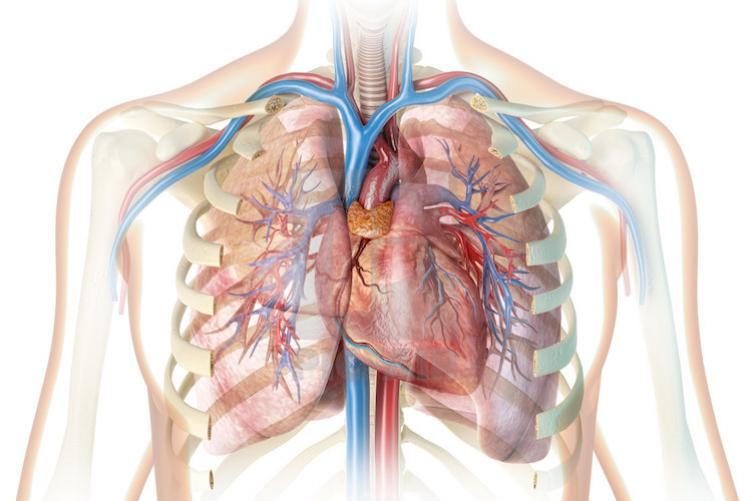 Breathing anatomy picture
